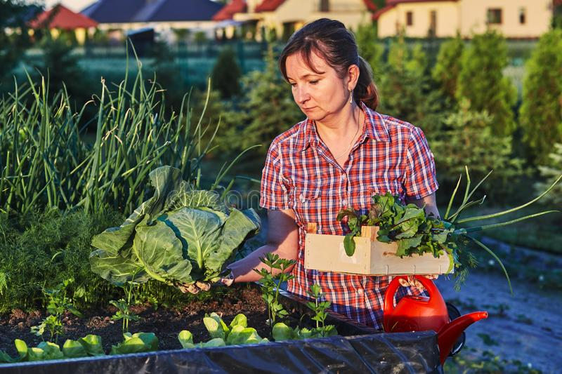 Woman working in a home vegetable garden royalty free stock image