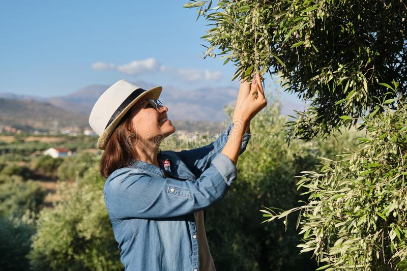 Woman working in the olive garden, mountain background stock photography