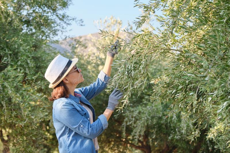 Woman working in the olive garden, mountain background royalty free stock photos