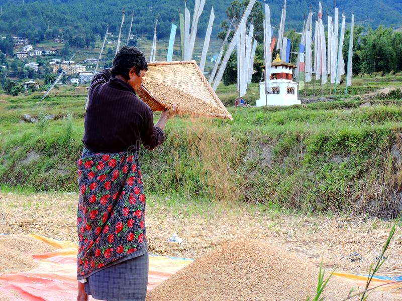 Woman working in rice field enroute Chimi Lhakhang, Bhutan. Chimi Lhakhang, also known as Chime Lhakhang or Monastery or temple, is a Buddhist monastery in royalty free stock photos