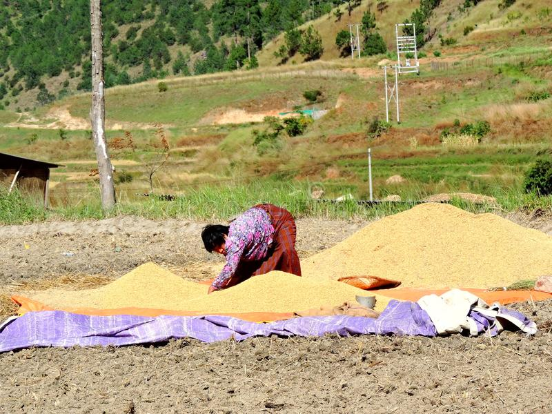 Woman working in rice field enroute Chimi Lhakhang, Bhutan. Chimi Lhakhang, also known as Chime Lhakhang or Monastery or temple, is a Buddhist monastery in stock image