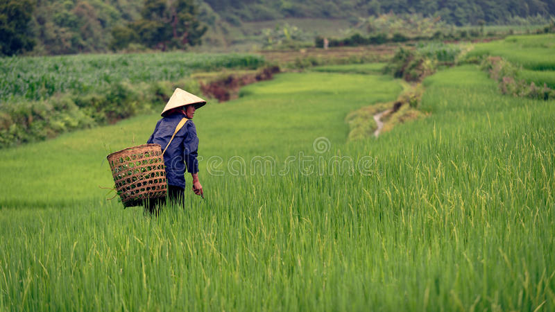 Woman working rice field, Sapa, Vietnam stock photo