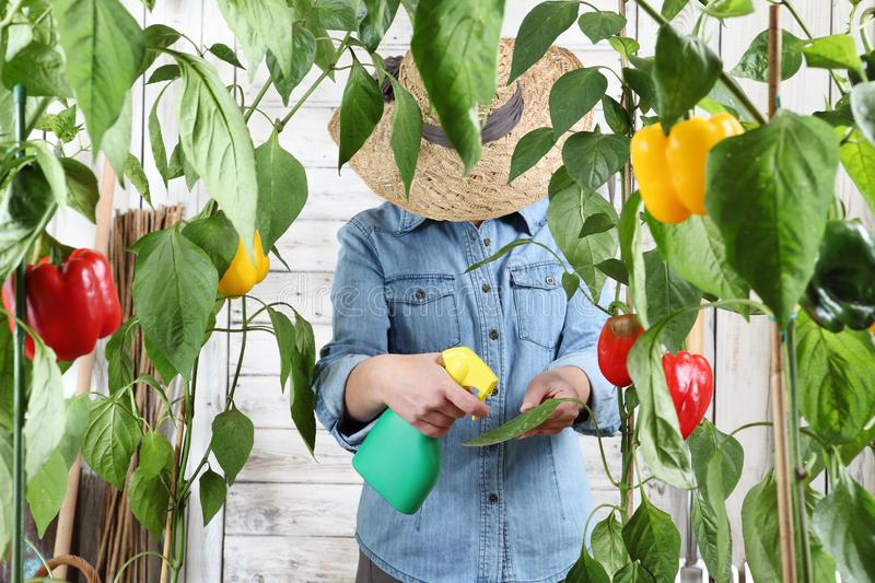 Woman working in vegetable garden spray pesticide on the green leaves of sweet peppers lush plants, take care plant growth. Woman working in vegetable garden royalty free stock photo