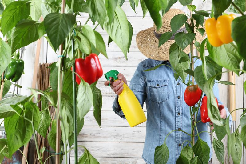 Woman working in vegetable garden spray pesticide on the green leaves of sweet peppers lush plants, take care plant growth. Woman working in vegetable garden royalty free stock image