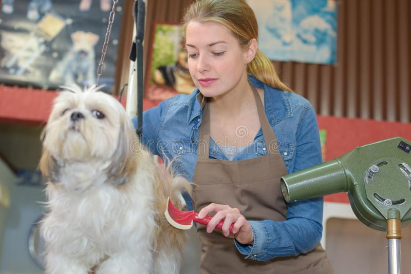 Woman works at pet grooming business. Woman works at a pet grooming business royalty free stock image
