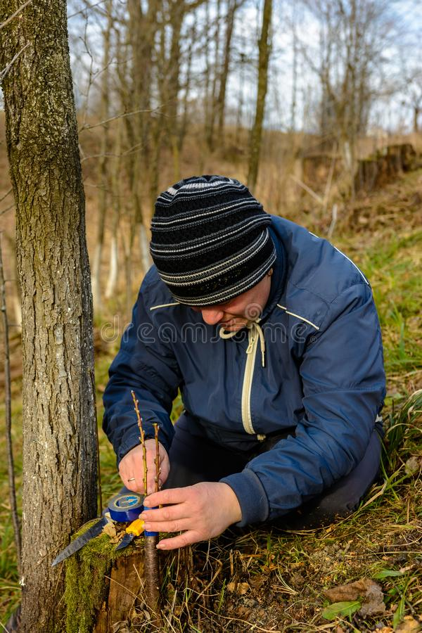Woman wraps a graft tree with an insulating tape in the garden to detain the damp in it in close-up royalty free stock image