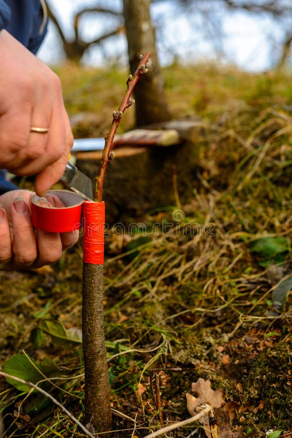 Woman wraps a graft tree with an insulating tape in the garden to detain the damp in it in close-up royalty free stock photo