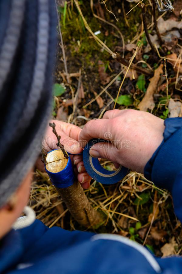 Woman wraps a graft tree with an insulating tape in the garden to detain the damp in it in close-up stock photos