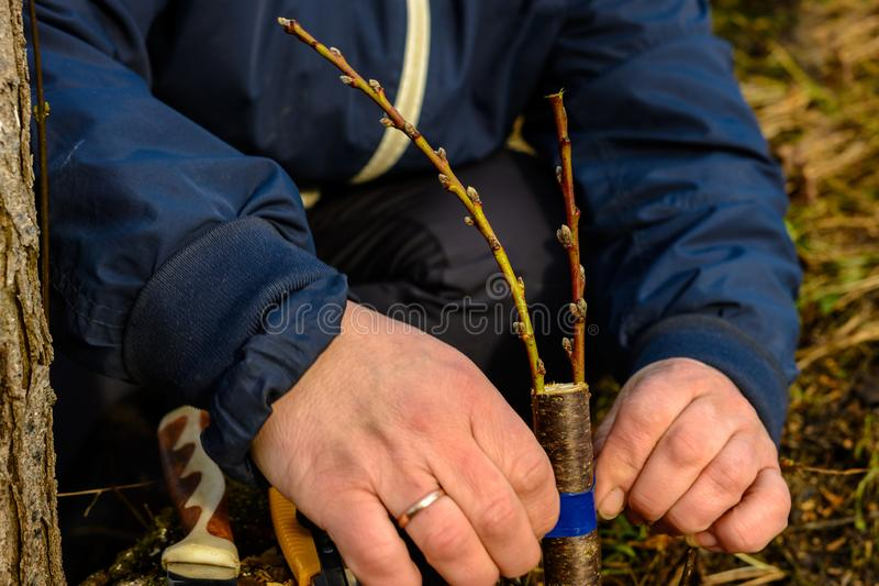 Woman wraps a graft tree with an insulating tape in the garden to detain the damp in it in close-up royalty free stock images