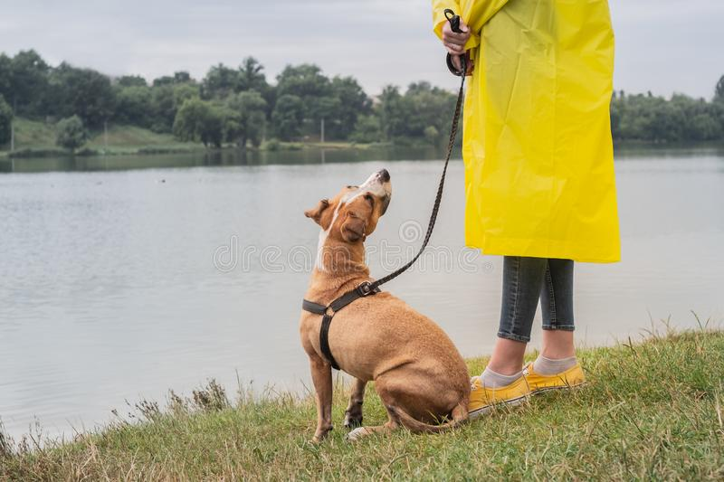Woman in yellow raincoat and shoes walks the dog in rain at urban park near lake. Young female person and pitbull terrier puppy s stock photography