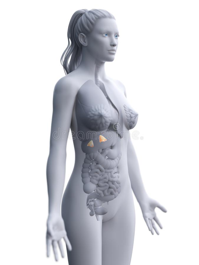 a womans adrenal glands royalty free illustration