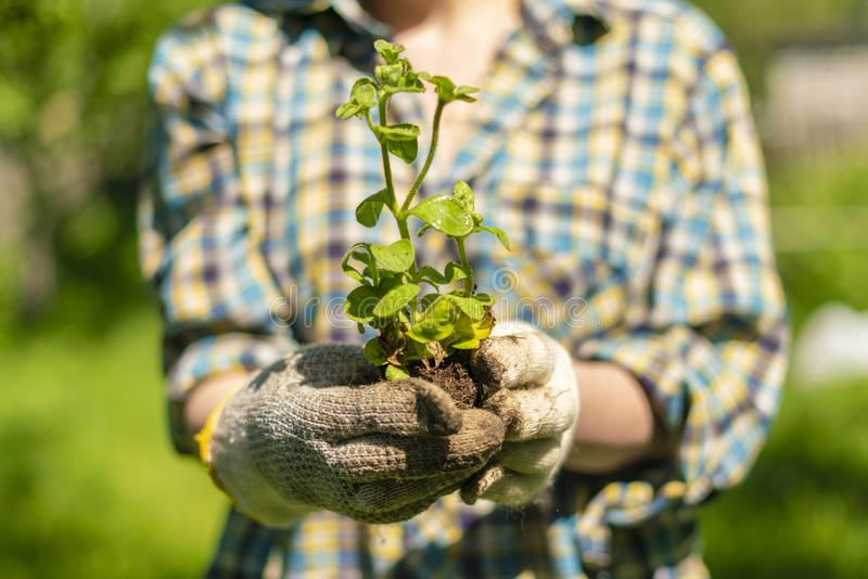 Womans hands hold young plant sprout at the garden, new life concepts. Womans hands hold young plant sprout at the garden, new life concept royalty free stock image