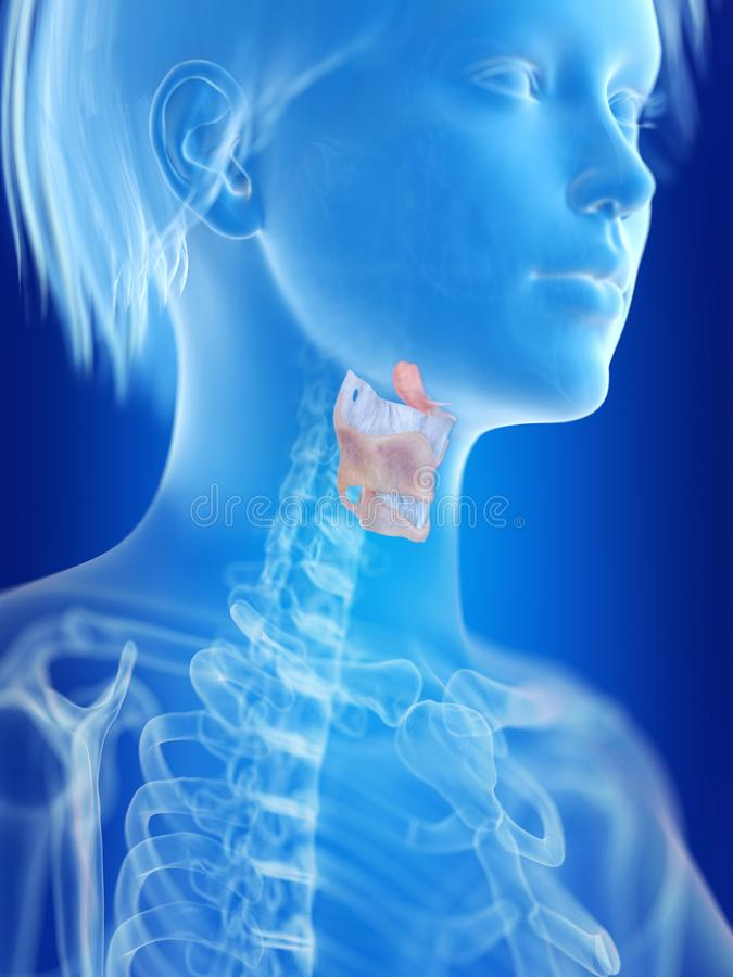A womans larynx. 3d rendered medically accurate illustration of a womans larynx royalty free illustration