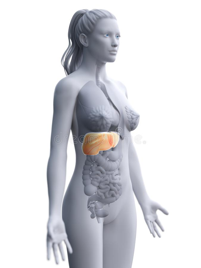 A womans liver. 3d rendered medically accurate illustration of a womans liver stock illustration