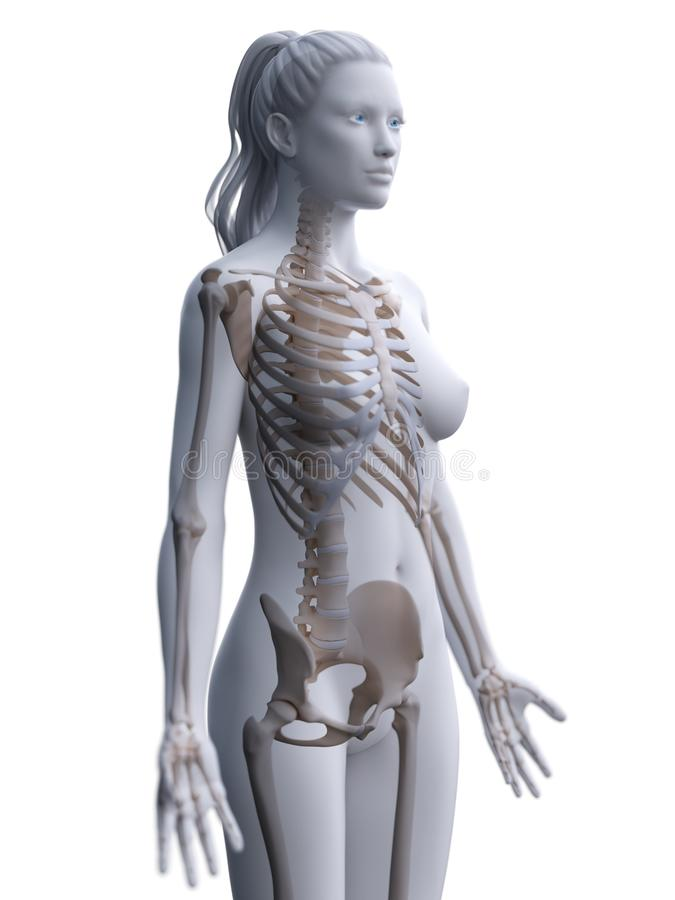 A womans skeleton. 3d rendered medically accurate illustration of a womans skeleton royalty free illustration