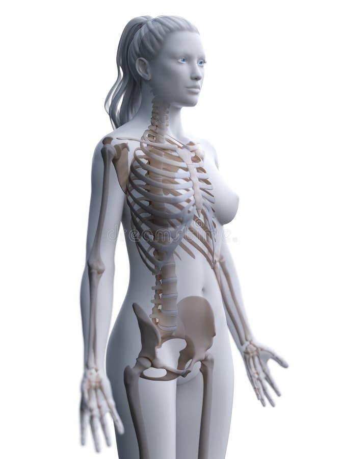 A womans skeleton royalty free illustration