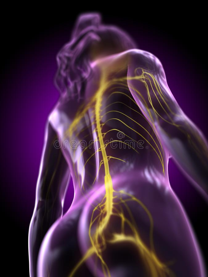 A womans spinal cord stock illustration