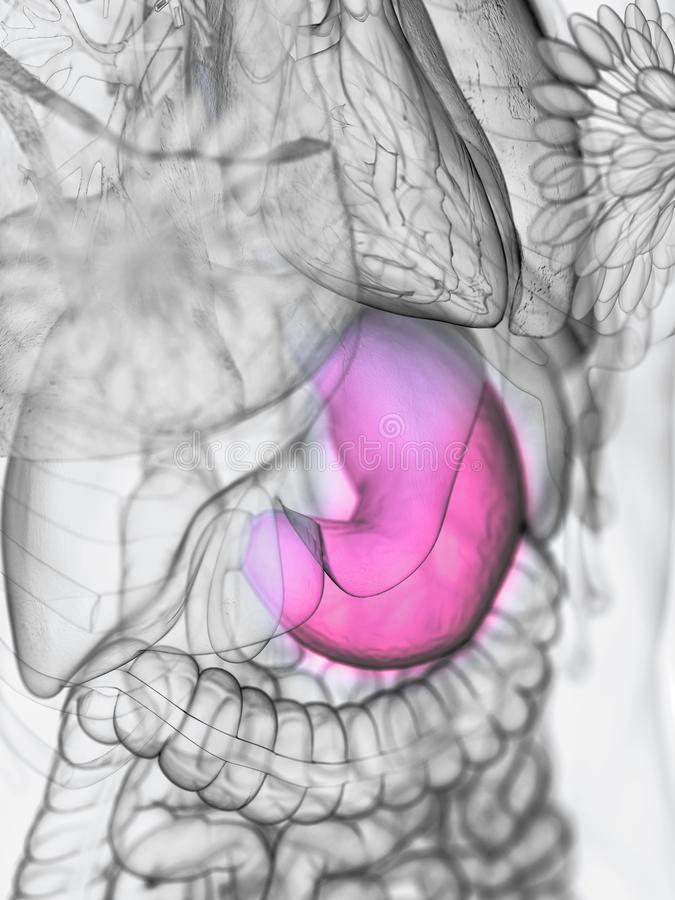 A womans stomach. 3d rendered medically accurate illustration of a womans stomach vector illustration