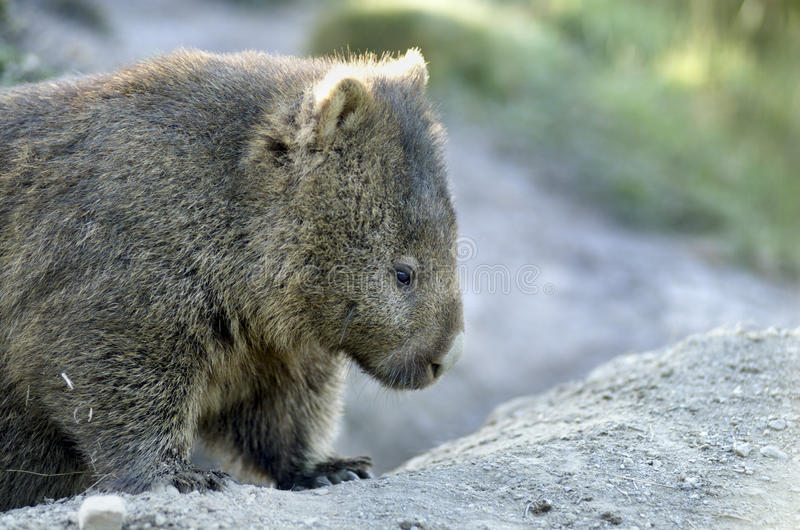 Download Wombat stock image. Image of ursinus, marsupial, mountain - 10852611