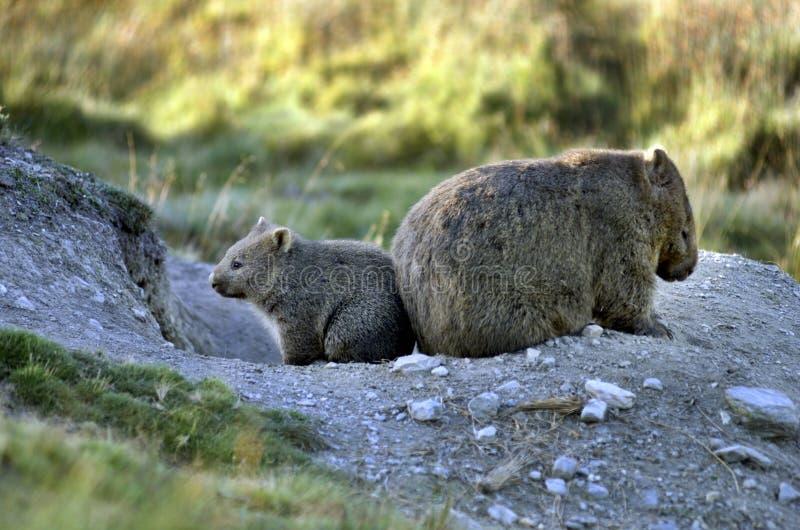 Wombat lizenzfreie stockfotografie