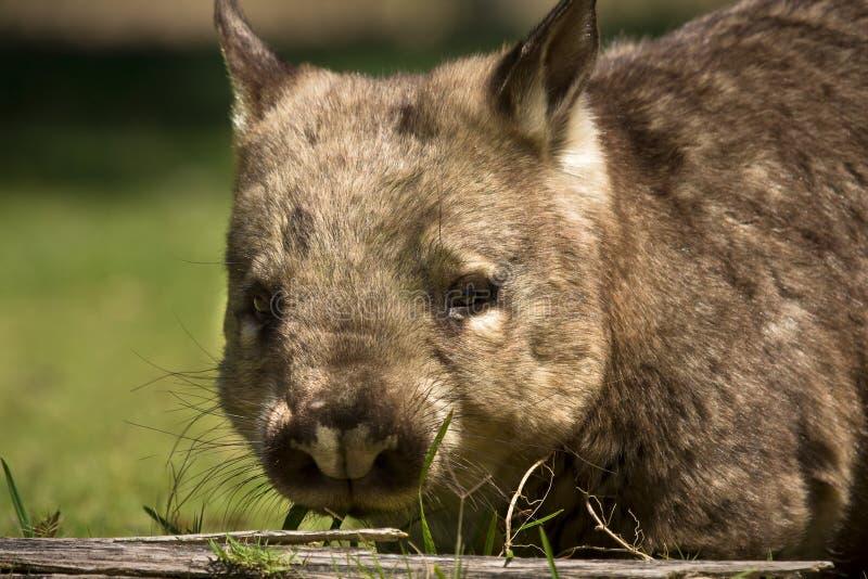 wombat стоковые фотографии rf