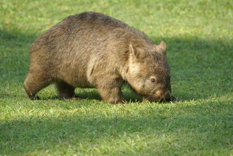 Wombat stock afbeelding