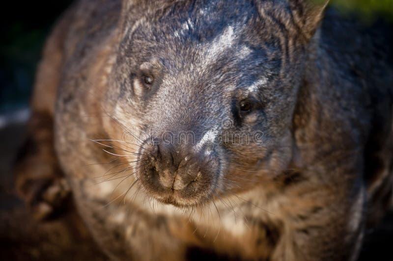 Download Wombat Royalty Free Stock Image - Image: 20192666