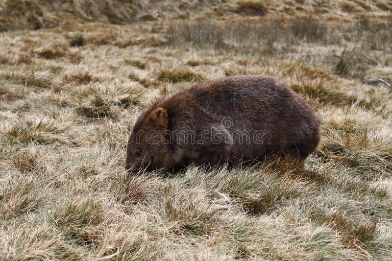 Download Wombat stock image. Image of color, hair, grass, native - 23346053