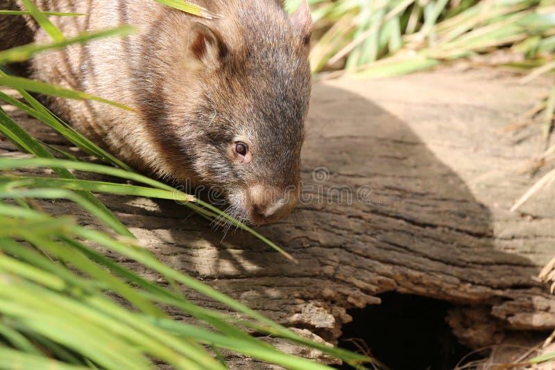 Wombat royalty free stock photo