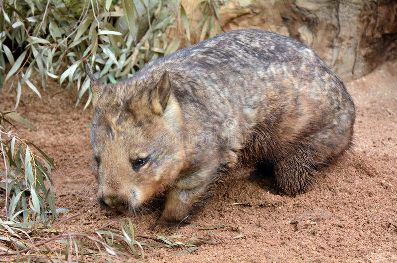Wombat image libre de droits