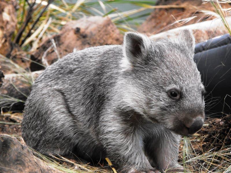 Wombat fotos de stock royalty free