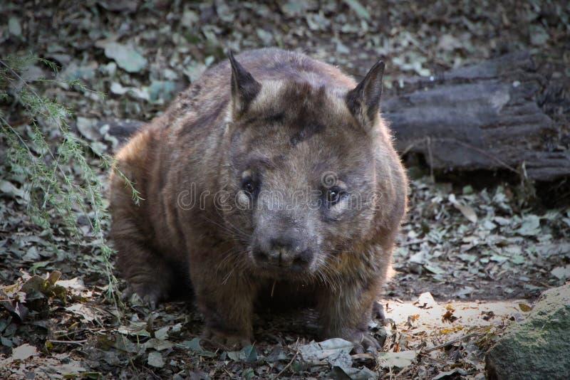 Wombat foto de archivo