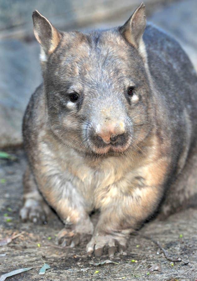 Download Wombat, Australian Common, Queensland, Australia Stock Image - Image of nosed, hairy: 27983497