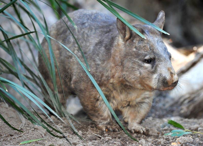 Download Wombat, Australian Common, Queensland, Australia Stock Photo - Image: 27983534