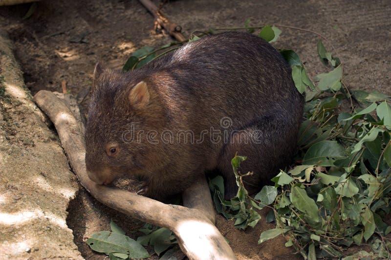 wombat australii obrazy stock