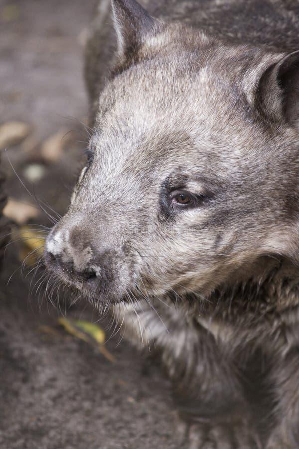 Wombat cappottato peloso fotografie stock
