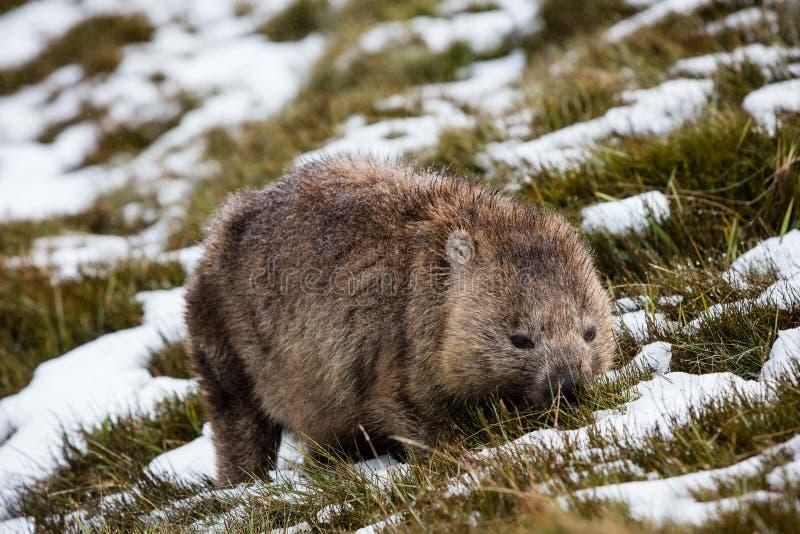 Wombat, das im Schnee am Wiegen-Gebirgsnationalpark, Tasmanien herumsucht stockfoto
