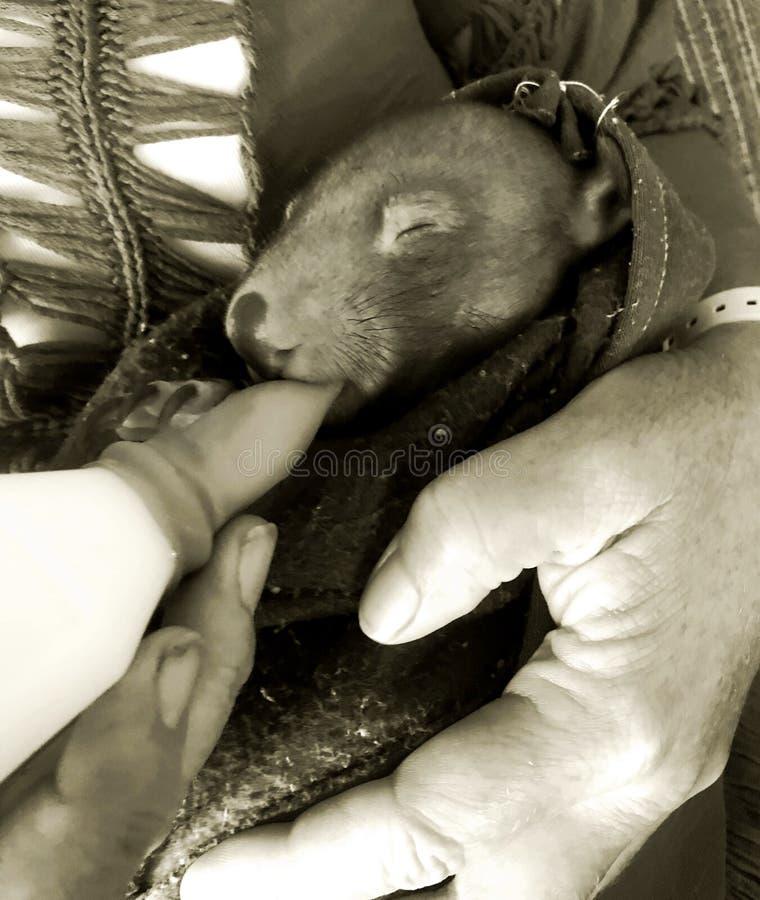 Wombat del bebé que es FED fotografía de archivo
