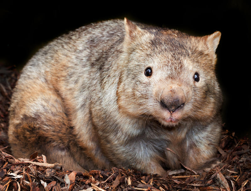 wombat flairé velu images stock