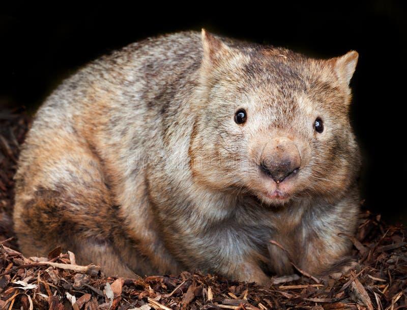 wombat flairé velu images stock