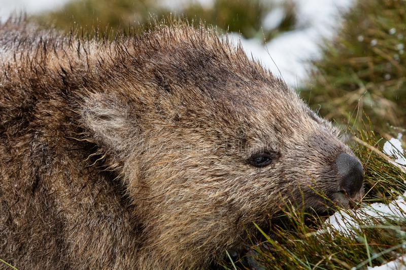 Wombat foraging in the snow at Cradle Mountain National Park, Tasmania royalty free stock photo