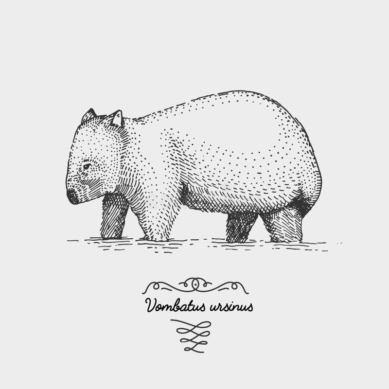 Wombat grawerował, ręka rysująca wektorowa ilustracja w woodcut scratchboard stylu, roczników rysunkowi gatunki ilustracji