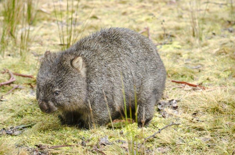 Wombat in het Nationale Park van de Wiegberg, Tasmanige stock foto's