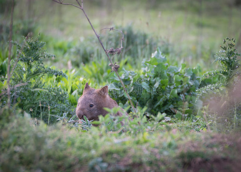 Wombat - kangur dolina Australia zdjęcia royalty free