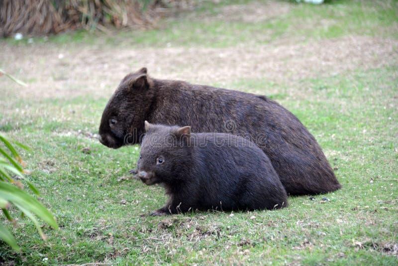 wombats zdjęcia royalty free