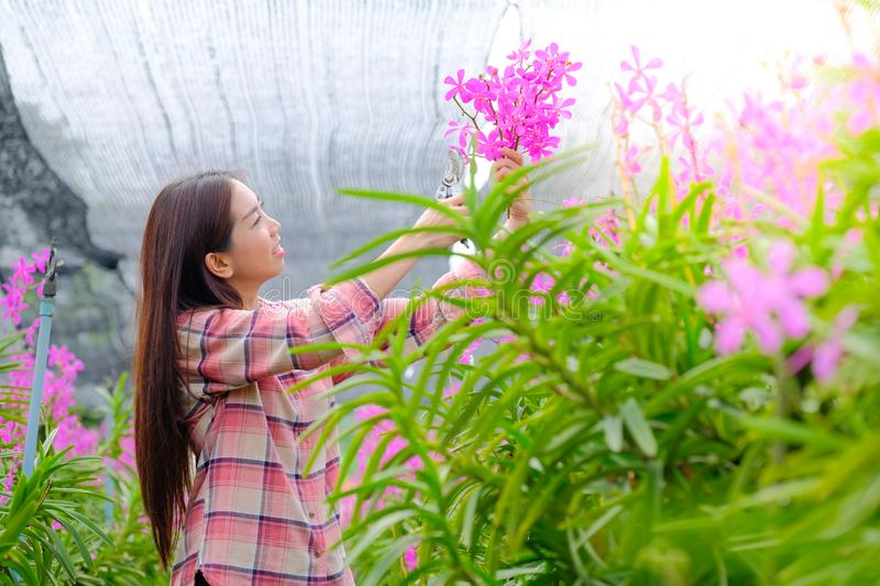 Women cutting pink orchids the garden for sale royalty free stock photography