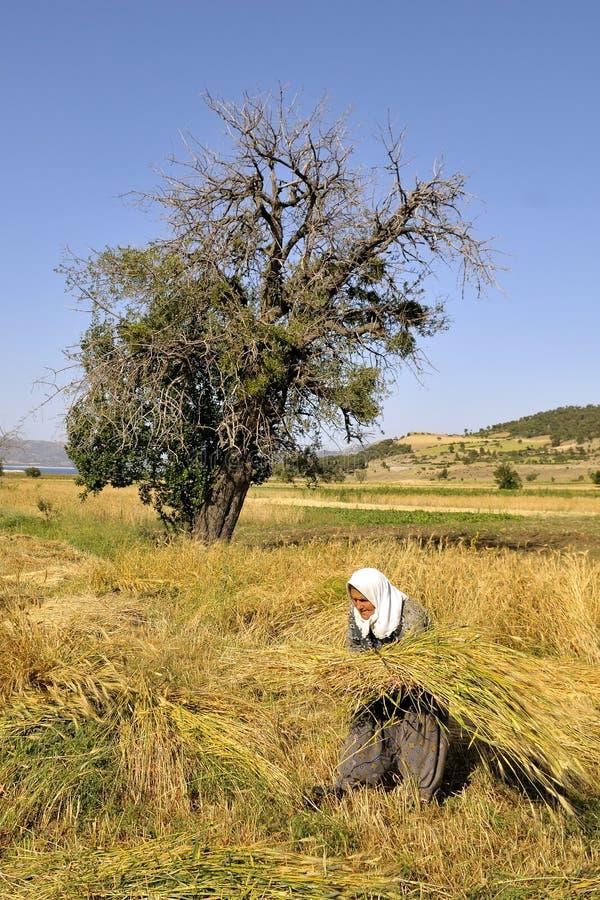 Women cutting wheat royalty free stock photo