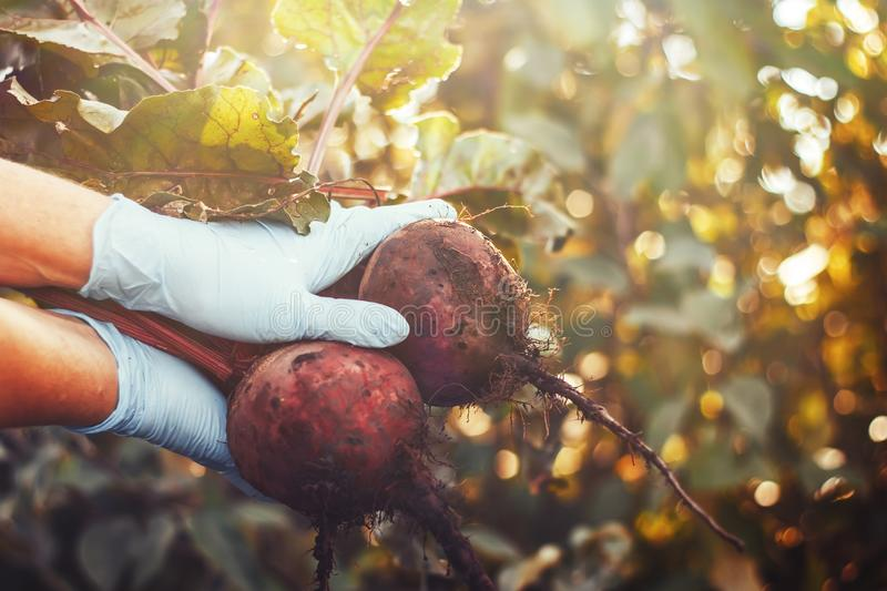 Women in gloves holding a bunch of handpicked organic dirty beetroots. Beetroots with leaf. Beet. royalty free stock images