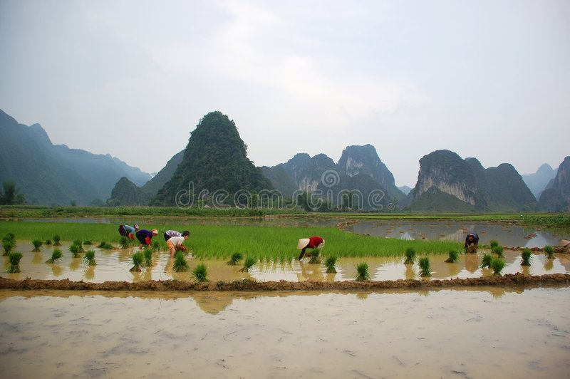 Women are growing rice on the valley royalty free stock images