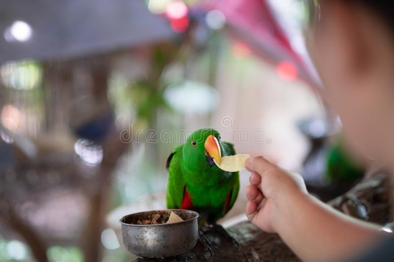 Women hand give potato for Beautiful Green parrot Great-Green Ma royalty free stock images